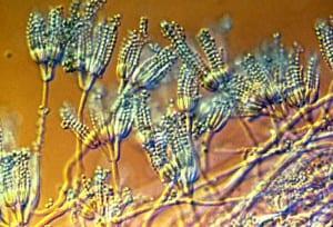 Penicillium Dangerous Molds